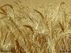 Wheat_3